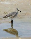 Willet pozycja w wodzie na plaży Zdjęcie Stock