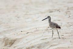 Willet que anda em uma praia Foto de Stock