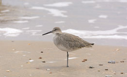 Willet Resting on the Shore Royalty Free Stock Photos