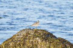 Willet on roomy perch Royalty Free Stock Photography