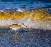 Willet  in the Sand and Surf. A willet hunts along the surf line at La Jolla Shores in California Royalty Free Stock Photo