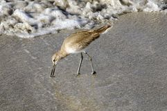 Willet Sandpiper Feeding on the Beach Royalty Free Stock Photography