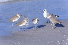 Willet Sandpipers and Seagull Stock Photo