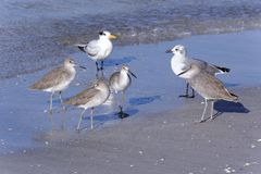 Willet Sandpipers, Seagull and Royal Tern Royalty Free Stock Photography