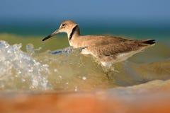 Willet, semipalmatus del Catoptrophorus, uccello acquatico del mare nell'habitat della natura Animale sull'uccello della costa de fotografia stock libera da diritti