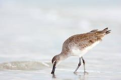 Willet, semipalmatus del Catoptrophorus, uccello acquatico del mare nell'habitat della natura Animale sull'uccello della costa de fotografie stock libere da diritti