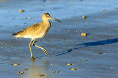 Willet Shore Bird Royalty Free Stock Images