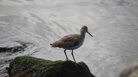 A Willet by the shore of the Pacific Ocean stock footage