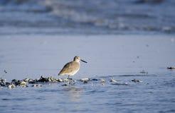 Willet shorebirds on beach, Hilton Head Island. Willet, Tringa semipalmata, on beach surf. Hilton Head Island, South Carolina, USA. Fish Haul Park and Stock Photo