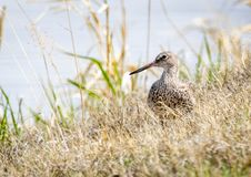 Willet. A Willet on the shores of a wetland at Market Lake Wildlife Refuge near Roberts, Idaho Royalty Free Stock Images