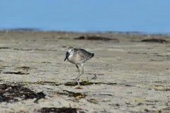 Willet snäppa på stranden Arkivfoto
