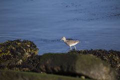 Willet Royalty Free Stock Photography