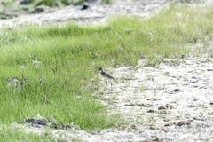 Willet squawking on beach Stock Photos