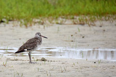 Willet standing beside a pool of water with grass in the backgro Royalty Free Stock Image