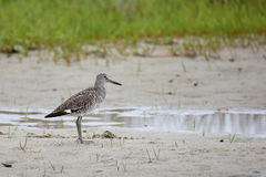 Willet standing beside a pool of water on a sandy shore Royalty Free Stock Photography