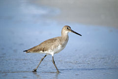 Willet standing in shallow water Royalty Free Stock Photo
