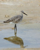 Willet standing in water on a beach Stock Photo