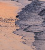 Willet Stands at the Edge. Of Tide at Sunrise Royalty Free Stock Photos
