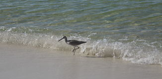 Willet Royalty Free Stock Images