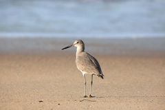 Willet stands on sand at waters edge Stock Photography