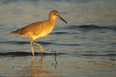 Willet Stepping Through Ocean Royalty Free Stock Images