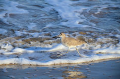 Willet striding in waves royalty free stock photo