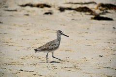 Willet sulla spiaggia Fotografia Stock Libera da Diritti