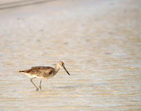 Willet sulla spiaggia nel Messico Fotografie Stock Libere da Diritti