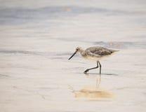 Willet sulla spiaggia nel Messico Immagini Stock Libere da Diritti