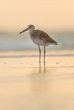 Willet at sunset Stock Photo