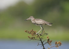 Willet sur le branchement de cèdre Photo stock