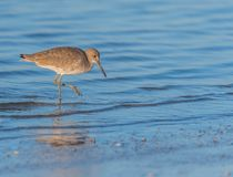 Willet About to Strike. While wading in shallow ocean tide Stock Images