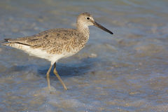 A Willet Stock Photo
