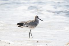 Willet Tringa Semipalmata Resting On A White Sand Rocky Beach Stock Images