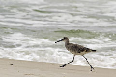A willet (type of sandpiper) on the beach. A willet, a type of sandpiper bird, runs on the sandy beach. Shot on Alabama's Gulf Coast Stock Photo