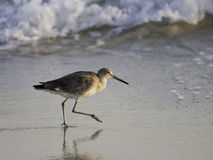 A willet (type of sandpiper) on the beach. A willet, a type of sandpiper bird, wades the ocean surf in search of food. Shot on Alabama's Gulf Coast Stock Image