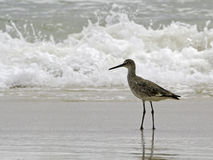 A willet (type of sandpiper) wades ocean surf. A willet, a type of sandpiper bird, wades in the ocean surf in search of food. Shot on Alabama's Gulf Coast Royalty Free Stock Images