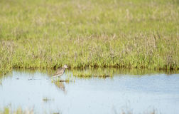 Willet vocalizing Stock Images