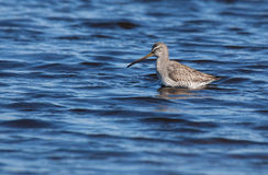 Willet wades in pond searching for food Royalty Free Stock Photography