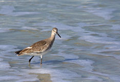 Willet (Catoptrophorus semipalmatus) Royalty Free Stock Images