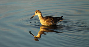 Willet Wading In Ocean Stock Photography