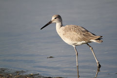 Willet Wading in Shallow Water Stock Photos
