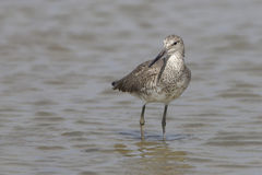 Willet Wading in Shallow Water - Bolivar Peninsula, Texas Stock Photography