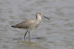 Willet Wading in Shallow Water - Bolivar Peninsula, Texas Stock Image