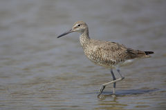 Willet Wading in Shallow Water Stock Photography
