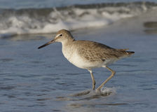 Willet Wading in Surf on a Florida Beach Stock Photo