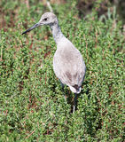 Willet walking through brush Royalty Free Stock Image