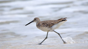 Willet walking at the edge of the surf Royalty Free Stock Photos