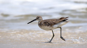 Willet walking at the edge of the surf Stock Image
