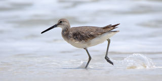 Willet walking in the surf Stock Image